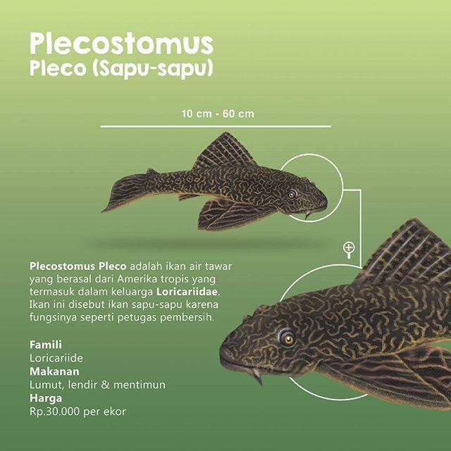 "9. Plecostomus Pleco  Plecostomus Pleco (Sapu-sapu) adalah ikan air tawar yang berasal dari Amerika tropis yang termasuk dalam keluarga Loricariidae. Dalam perdagangan internasional ikan ini dikenal sebagai Plecostomus atau singkatnya Plecos.  Di Indonesia, analogi yang sama juga dipakai, tetapi alatnya yang dipakai sebagai nama ""sapu"" karena fungsinya sebagai petugas pembersih."