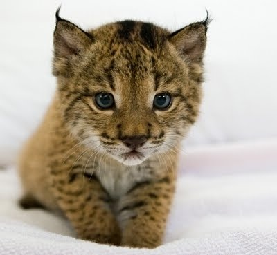 Baby lynx. The Iberian lynx, (Lynx pardinus)  is a critically endangered species of felid native to the Iberian Peninsula in Southern Europe.