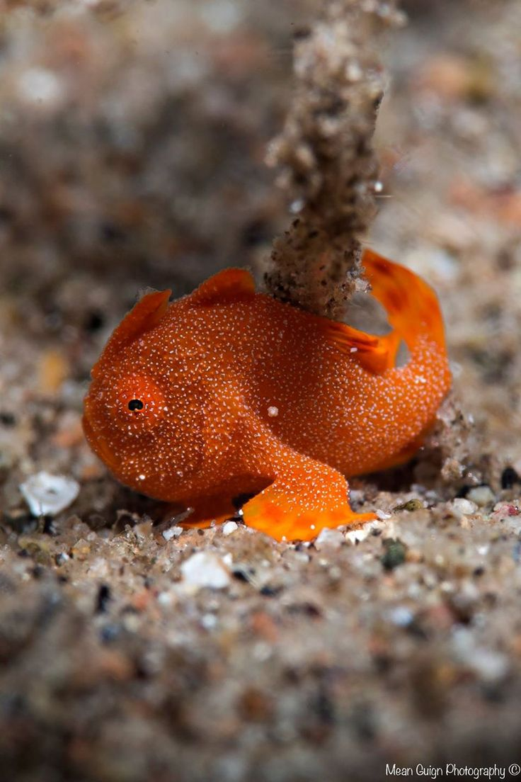 "mean-guign-photography: "" little 7mm froggie hiding in the seagrass… Baby Frogfish (Antennarius sp.) - Atmosphere Resorts House Reef, Dauin, Philippines """