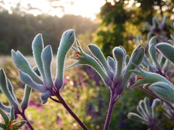 Kangaroo paw 'Landscape Lilac' by Angus Stewart