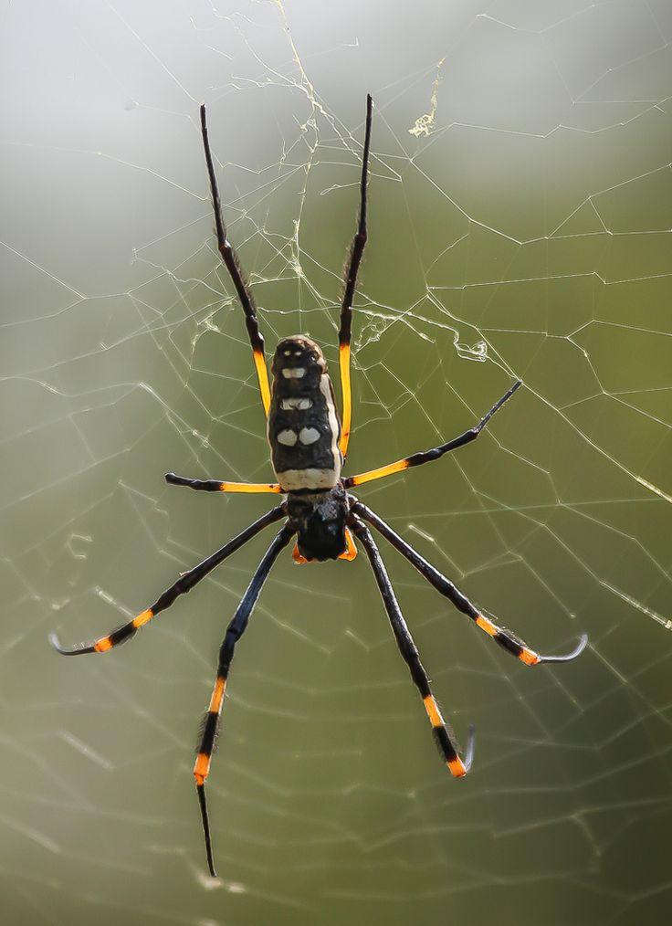 Golden orb web spider (Nephila senegalensis), Balule Nature Reserve, South Africa.  (c) Miikka Järvinen, from my gallery South African Wildlife http://miikkajarvinen.wordpress.com/2014/02/21/south-african-wildlife/