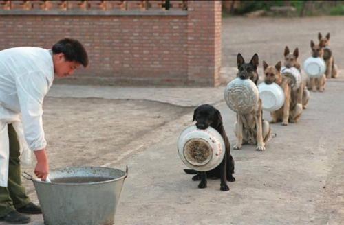 Полицейские собаки в Китае в очереди за обедом