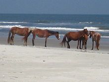 Cumberland Island horse - Wikipedia, the free encyclopedia