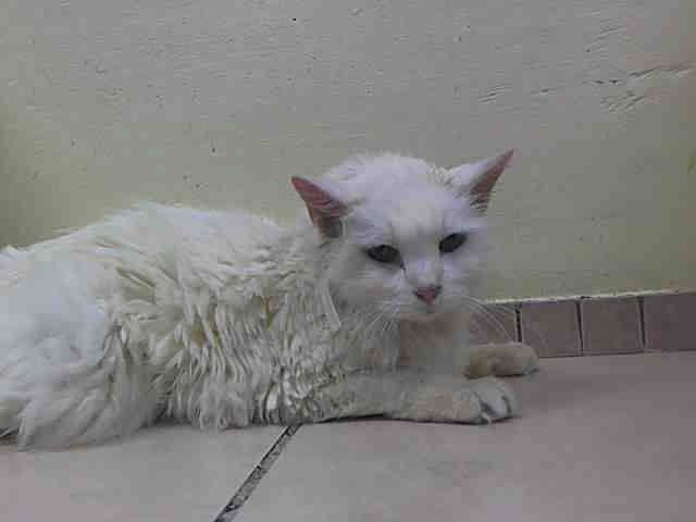 SAFE! TO BE DESTROYED 06/13/14 Brooklyn Center STRAY at SIXTEEN Years Old!  JO. My ID # A0059828. Spayed female white domestic 16 YRS old. https://www.facebook.com/nycurgentcats?sk=app_206429986046631#!/nycurgentcats/photos/a.807679879250001.1073742333.220724831278845/807679885916667/?type=3theater