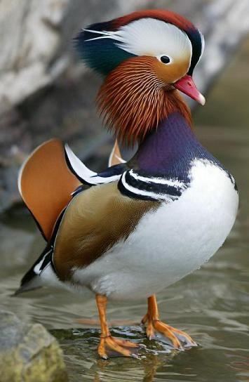 Canard mandarin - Mandarin Duck - Pato Mandarín - Anatra mandarina - Mandarinente ( Aix galericulata )
