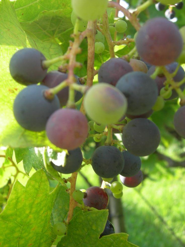Hungary, Winery by the Lake Balaton