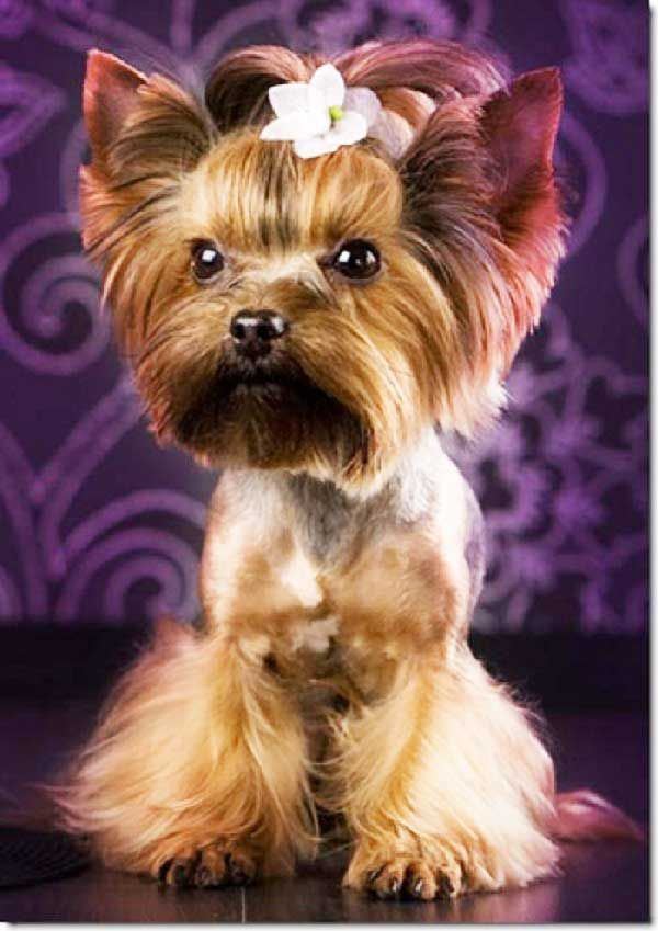 If You Have A Yorkshire Terrier You Are Aware Of The Fact That This