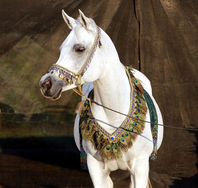 114 Best Images About Arabian Halters On Pinterest
