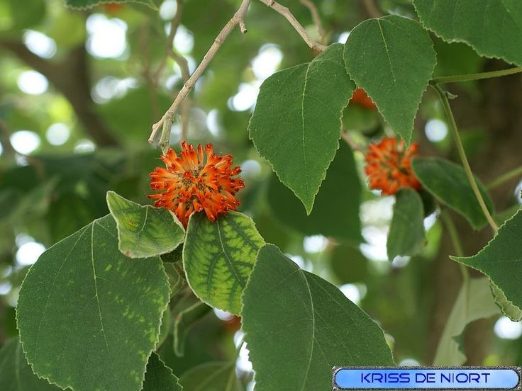http://faaxaal.forumactif.com/t2227-photo-d-arbre-murier-a-papier-murier-d-espagne-broussonetia-papyrifera-paper-mulberry#8411