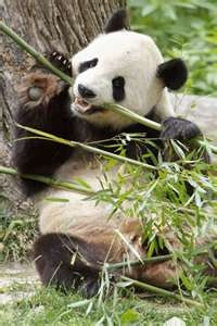 Giant Panda With His Favorite Bamboo