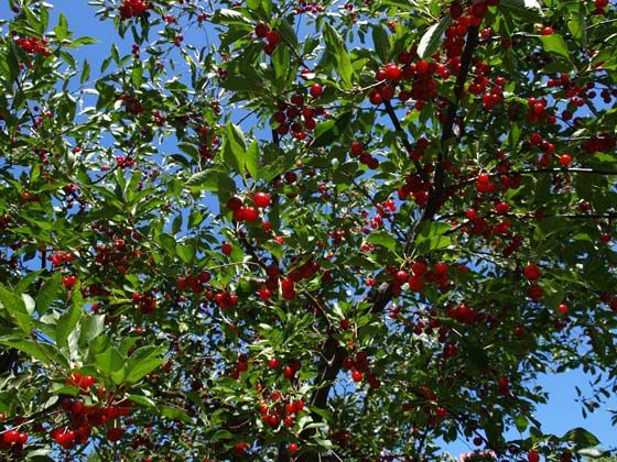"""Montmorency Cherry - Prunus cerasus 'Montmorency'  •  Most popular sour cherry in America  •  Called """"the standard for pie cherries""""  •  Flavor described as rich, tart and tangy  •  Late bloom time  •  Fruit ripens in late June  •  Self-fertile  •  Clusters of white, spring-blooming flowers"""