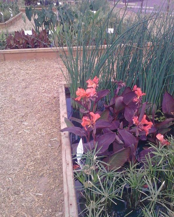 Pond Plants Growing Water Garden