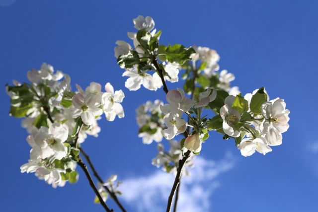 Omenapuun kukkia // Apple tree blossoms