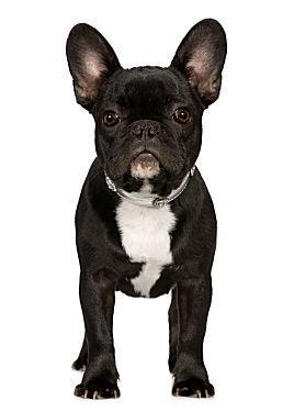 Franzoesische_Bulldogge