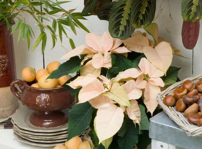 Fleurir l'intérieur avec un poinsettia en hiver - F. Marre - Rustica - Ferme de gally