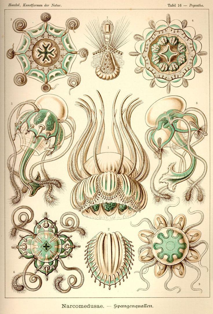 Narcomedusae via Kunstformen der Natur (1900) Illustration by Haeckel