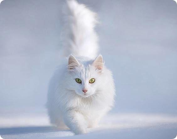 chat angora blanc  aux yeux verts dans la neige