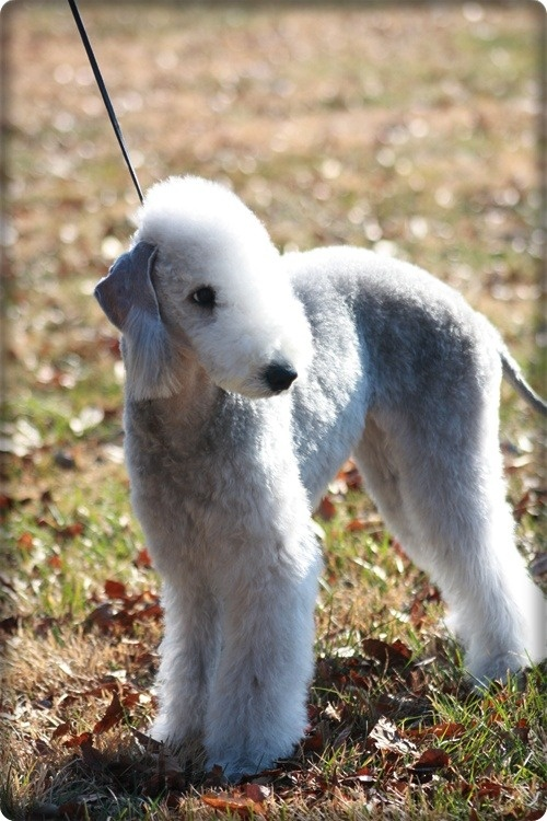 I need this dog, bedlington terrier ... So cute. Will name him/her Bo for little Bo Peep.