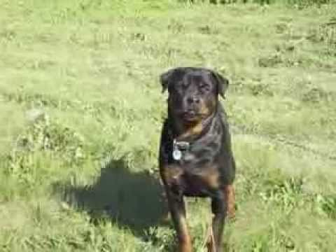 Roxii The Rottweiler