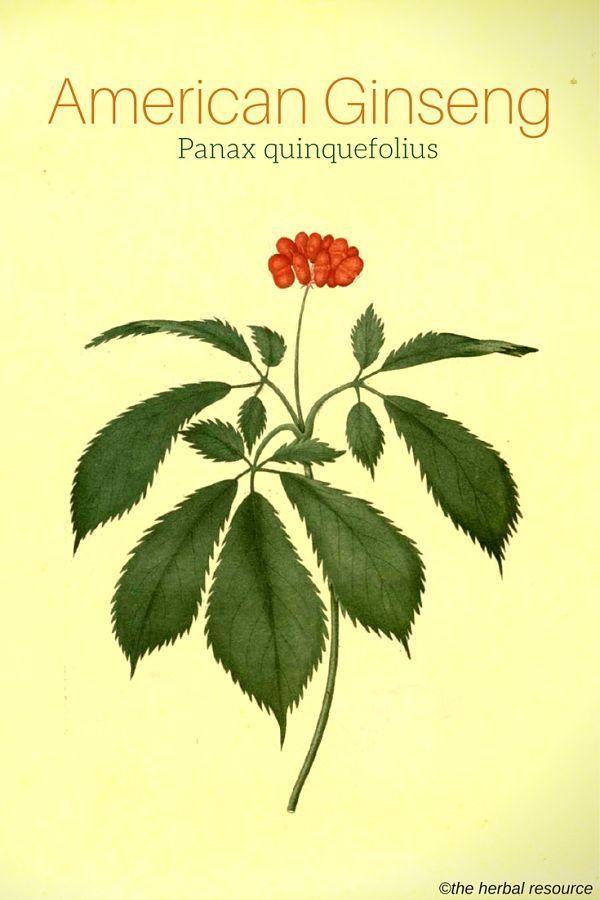 American Ginseng Panax quinquefolius