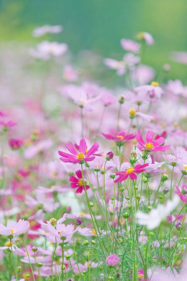 「淡いコスモスの花」のフリー写真素材