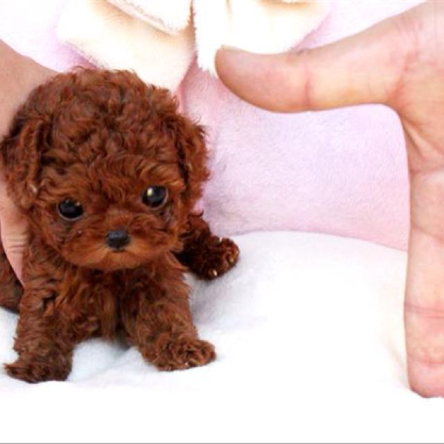 Tea Cup Poodle I always wonder what my lilah. Looked like as puppy my lilah is just black