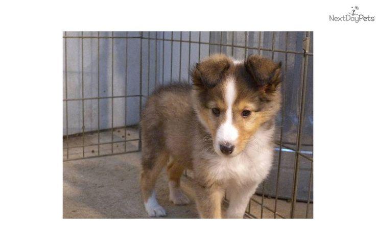 sheltie puppies for sale | ... cute Shetland Sheepdog - Sheltie puppy for sale for $450. Kern Kennel