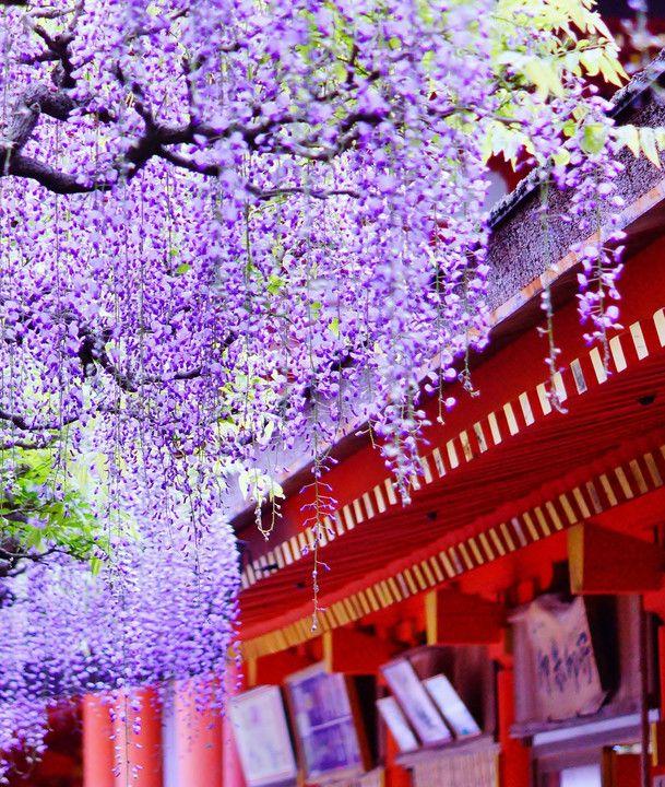 Wisteria, Nara, Japan via αcafe | My Sony Club | ソニー #藤 #wisteria