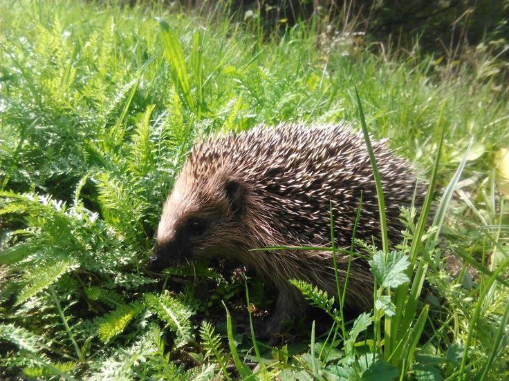 Hedgehog in nature Photo 2k17