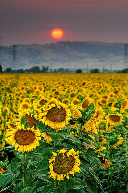 Sunset in sunflower fields, Sacramento Valley, California