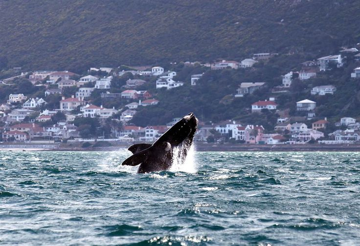 Beautiful breach A southern right whale breaches near the shore of Muizenberg Beach in False Bay, Cape Town, on Oct. 11.