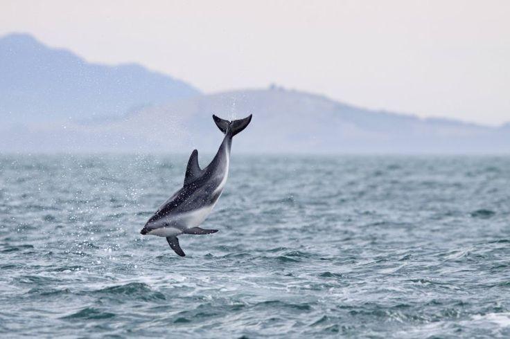 Neuseelands Wildlife-Mekka: Herden von Schwarzdelfinen schwimmen in den...