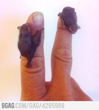 oh. my. ga.: Bats Baby, Cute Baby, Critter, Tiny Baby, It Was Bitty, Baby Bats, Tiny Bats, Bitty Teeny, Animal