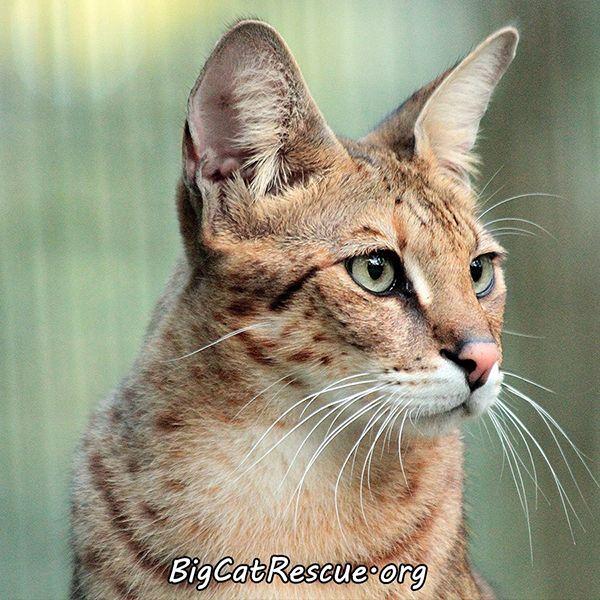Diablo-Savannah-Cat_5690053163694077531_n