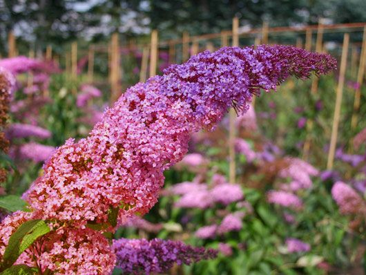 Sommerflieder / Schmetterlingsstrauch 'Flower Power' ® 'Bicolor' - Buddleja davidii 'Flower Power' ® 'Bicolor'