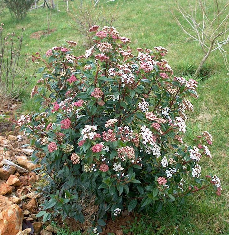 viburnum tinus 39 gwenllian 39 sneeuwbal zon schaduw 75 cm dec mar wit my little swedish. Black Bedroom Furniture Sets. Home Design Ideas