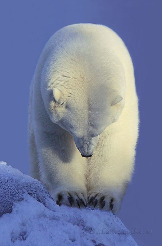"""Contemplation Polar Bear"" by Shane Lamb. Colour photograph on Paper, Subject: Animals and birds, Photorealistic style, From a limited edition of 250, Signed and numbered on the front, This artwork is sold unframed, Size: 22.86 x 33.02 cm (unframed), 9 x 13 in (unframed)"