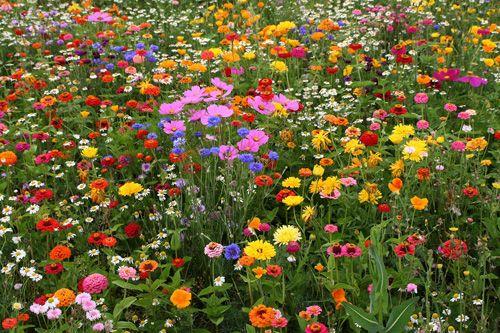 Een tuin die niet veel moeite kost, maar wel de hele zomer prachtige bloemen heeft? Misschien zijn een veldje met weidebloemen wel iets voor jou. Wij worden er in ieder geva l heel vrolijk van.