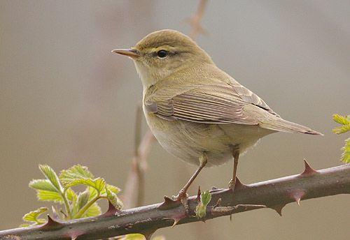 willow warbler (heard...) Penychain 1.4.12