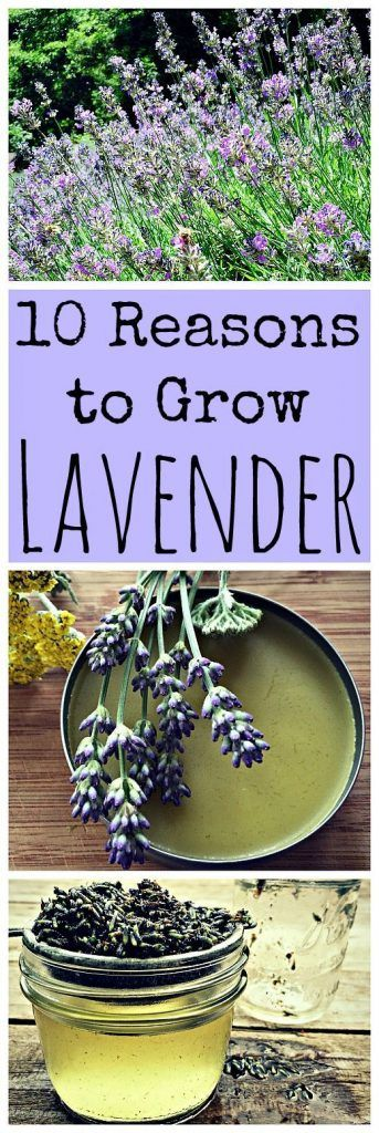 10 Reasons to Grow Lavender