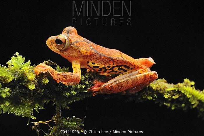 Harlequin Flying Tree Frog (Rhacophorus pardalis), Danum Valley Conservation Area, Borneo, Malaysia Ch'ien Lee; 00441528