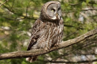 20 Fun Facts about Owls: The great gray owl is one of the largest owl species in the world.