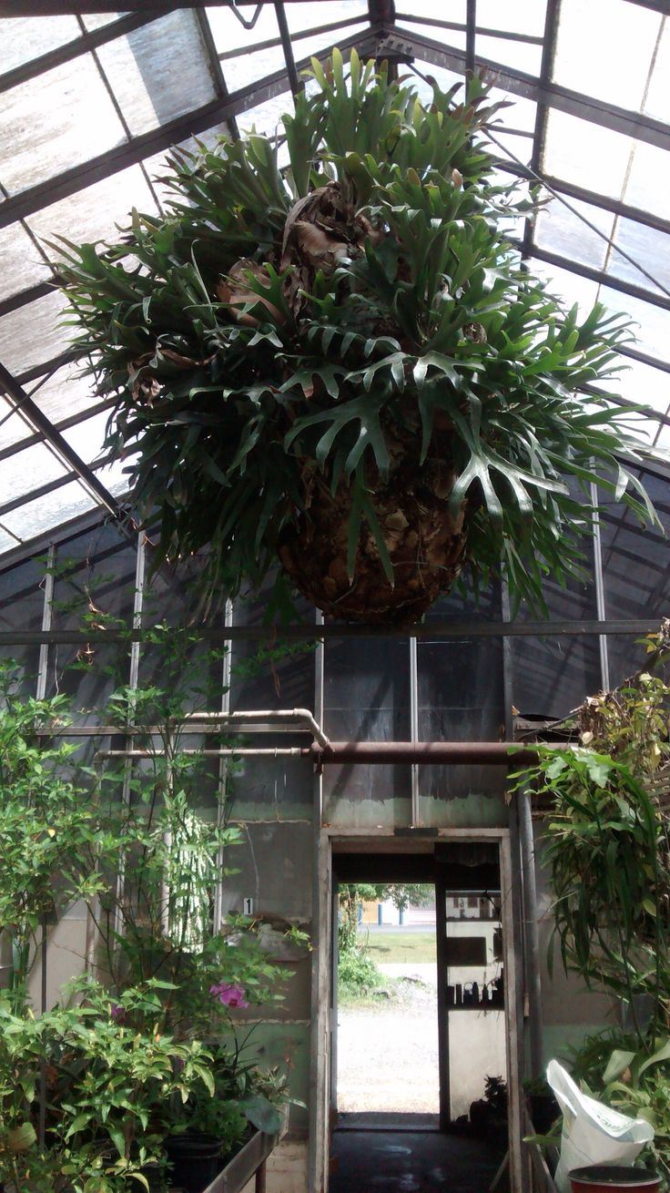 Decades-old staghorn fern at Williams Geenhouses in Sterling, Va. Not for sale.