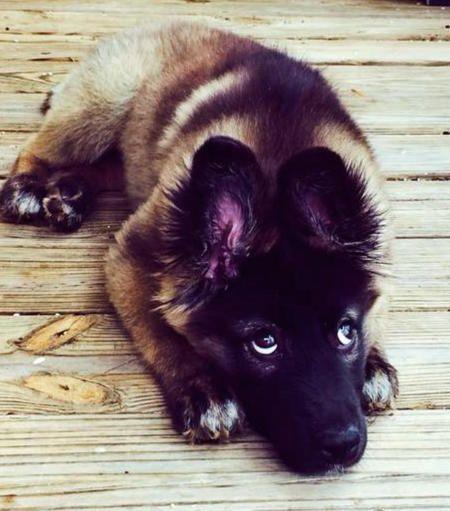 German shepherd husky baby!