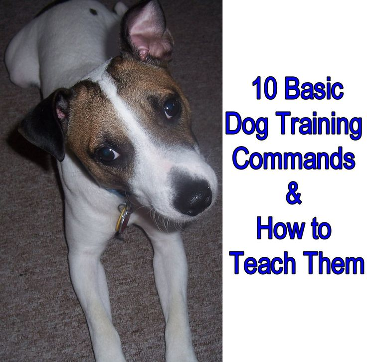 Every polite, well-mannereddog should know at least the ten basic dog training commands. And every polite, well-mannered dog owner should know how to teach them. These basic dog training commands are what make dogs polite and well-mannered, allowing you to keep your dog under control. Top 10 Basic Dog Training Commands 1. Come (Basic Recall) …