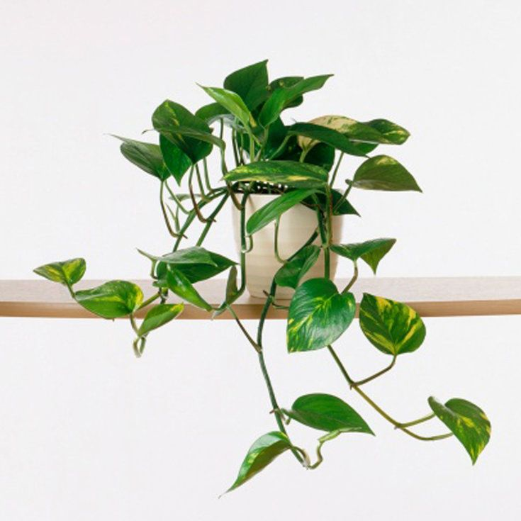 Best 20 ivy plants ideas on pinterest pothos plant plant care and indoor watering can - Best house plants ...