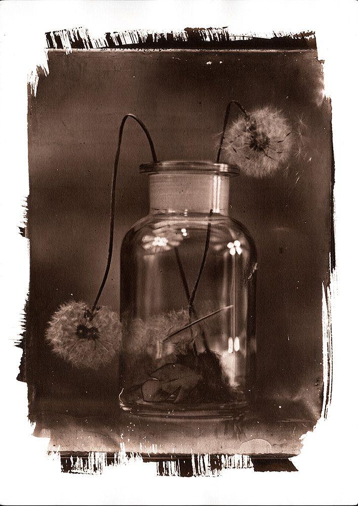 VanDyke print from 18x24cm collodion wet plate glass negative http://blenditak.blogspot.hu/2016/05/dandelion.html