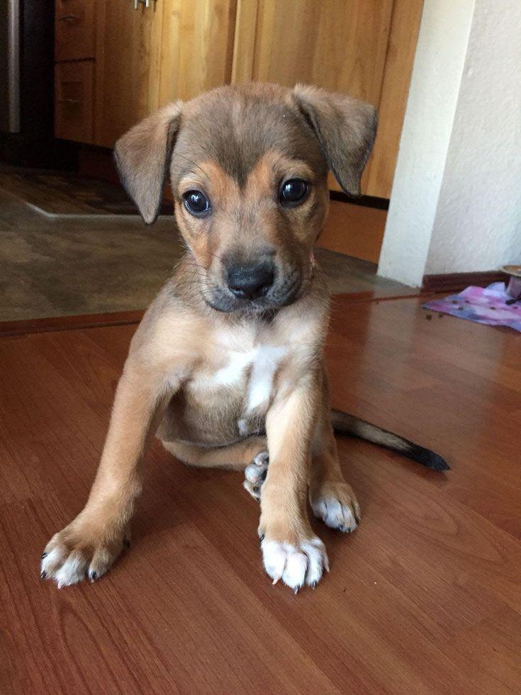 Terrier Mix Puppies Terrier Puppies Terrier Mix Welpen Chiots Terrier Mix Terrier Mix Cachorros Terri In 2020 Terrier Mix Dogs Chihuahua Mix Puppies