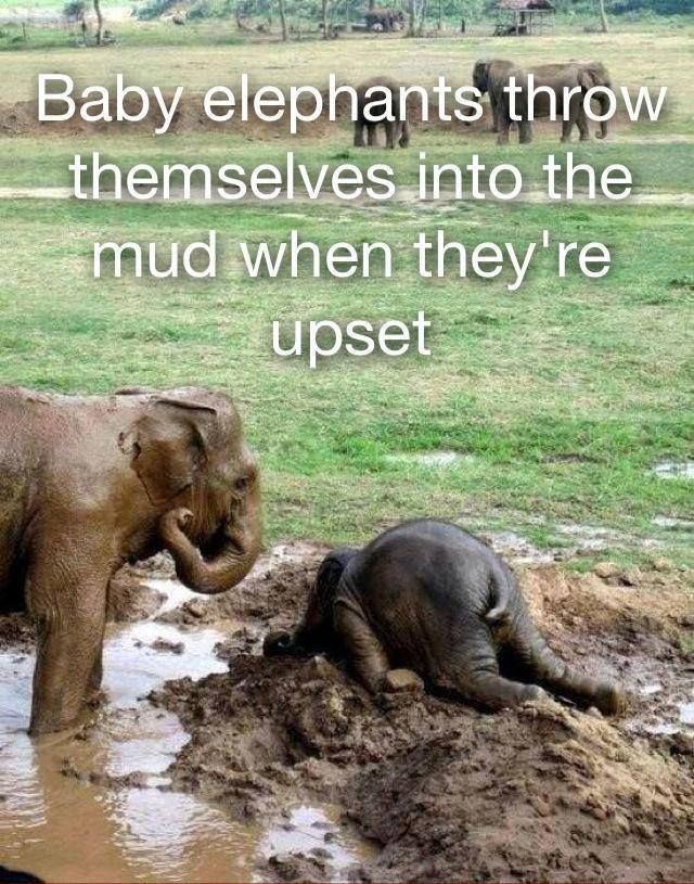 Baby elephants throw themselves into the mud when upset. Seems like a legitimate reaction to me.: