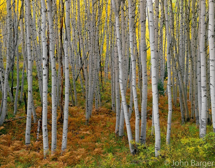 Autumn colors a grove of quaking aspen (Populus tremuloides) and forest understory, near Kebler Pass, Gunnison National Forest, Colorado, USA --- (4x5 inch original, File size: 7682x6000, 132.2mb uncompressed).